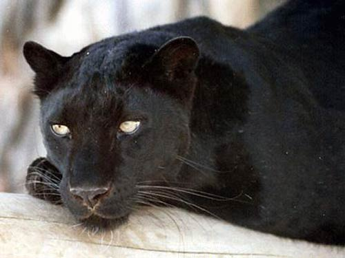POWER ANIMAL OF THE WEEK – BLACK PANTHER
