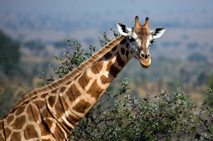 Power Animal of the Week – Giraffe