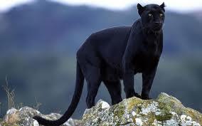 Power Animal of the Week – Black Panther
