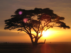 Acacia_tree_on_a_sunrise_safari_at_the_Serengeti_National_Park,_Tanzania