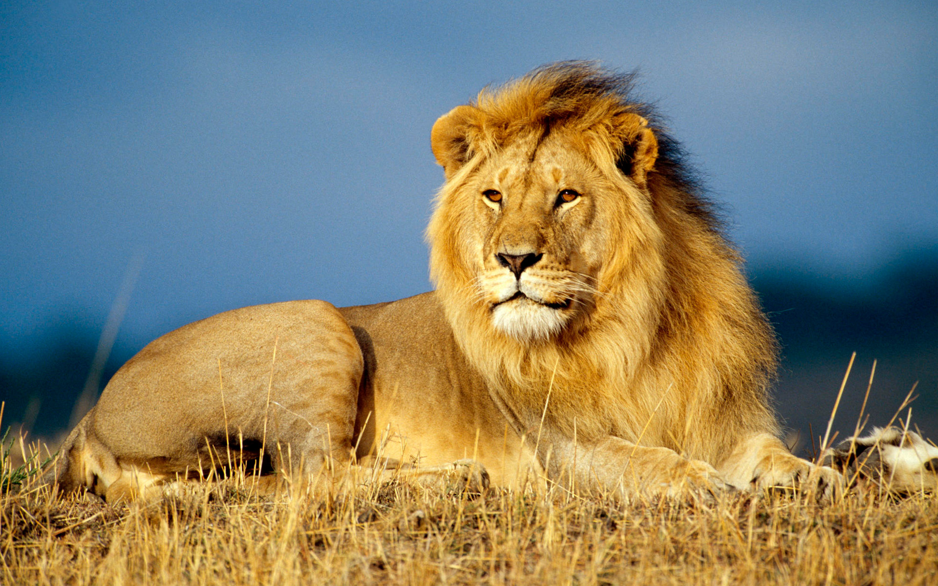 Power Animal of the Week – LION