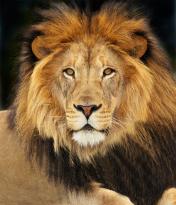 Image Gallery lion courage