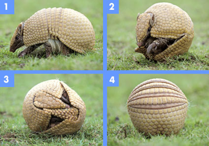 Power Animal of the Week – Armadillo