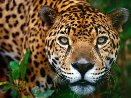 Power Animal of the Week – Jaguar